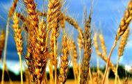 Séfer Hamitsvot Haqatsar  94. Mitsvot négatives – 101 à 103 - Interdits liés à la nouvelle récolte 'Hadach