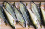 Le poisson et la langue française - Rav Haim Ishay