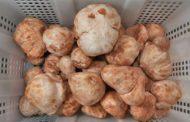 La Bérakha des champignons et des truffes - Rav David Pitoun