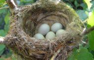 Le nid d'oiseau Zera Chimchon. Parachat Ki Tétsé - Michel Baruch