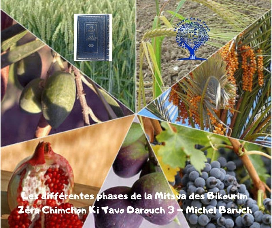 Les différentes phases de la Mitsva des Bikourim Zéra Chimchon Ki Tavo